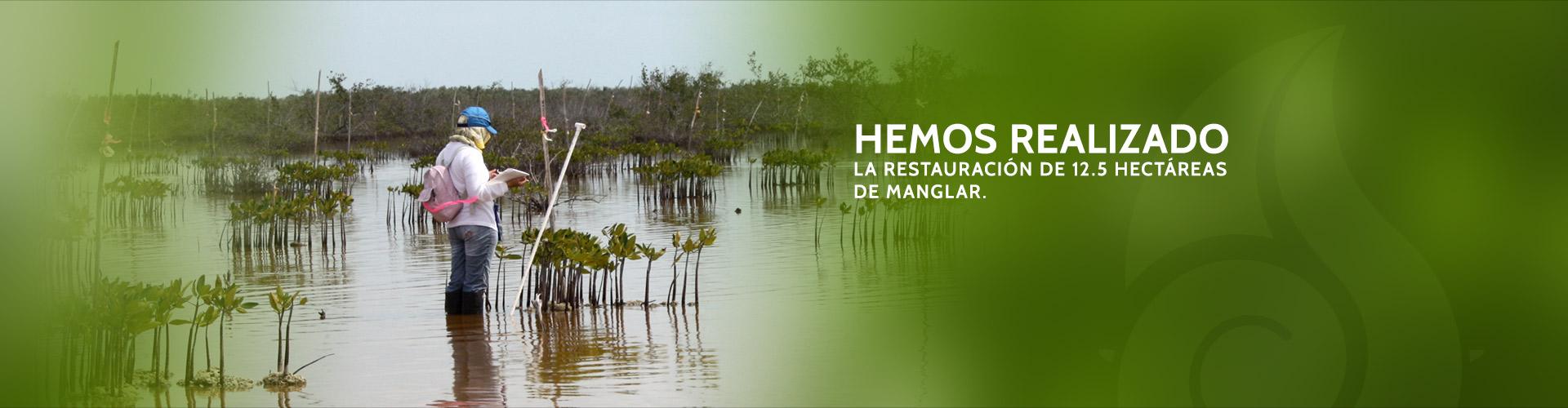Hemos realizado las restauración de 12.5 Hectáreas de manglar.